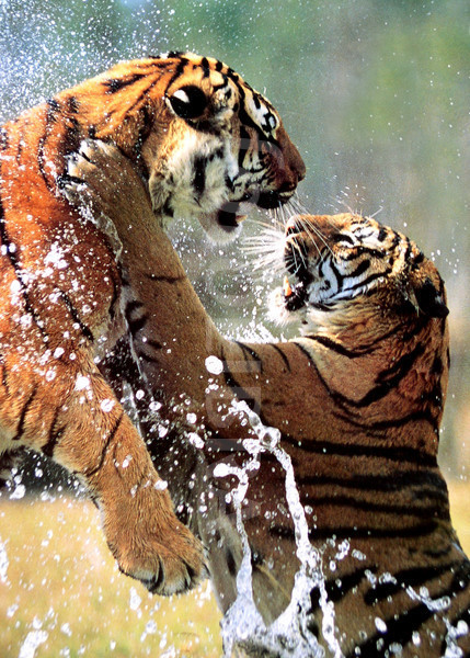 72369-fighting-tigers